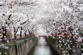 桜の開花は記録更新の早さ。今年の「お花見」どう変わる?東京都が宴会自粛要請