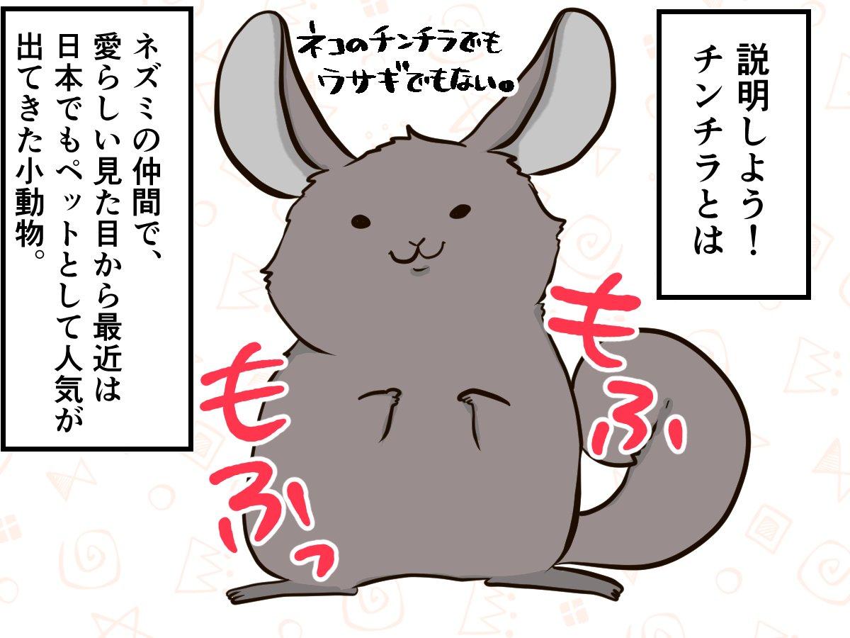 猫でもうさぎでもないモフモフ、「チンチラ」ってなぁに?