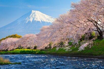 お隣の花見客は訪日外国人? 桜の魅力はグローバル化へ