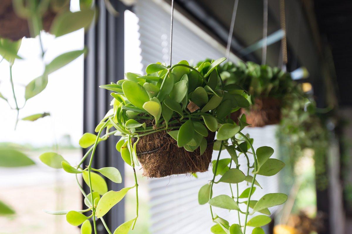 【観葉植物】吊るしておしゃれに!ハンギングプランツの基本、飾り方のコツ