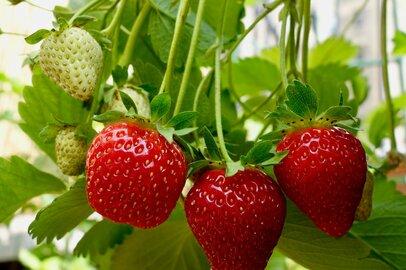 今が植えどき!イチゴの育て方、プランター栽培で来年収穫できる