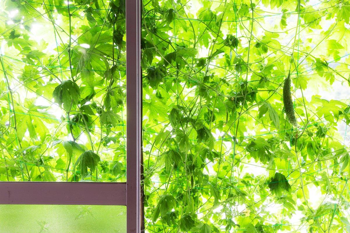グリーンカーテン効果、この夏はエコで役立つ植物を味方につける