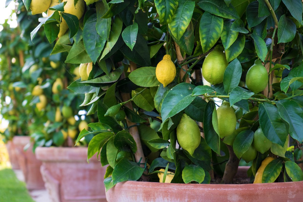 鉢植えで育てる「レモンの木」苗木の植え方~管理方法まで