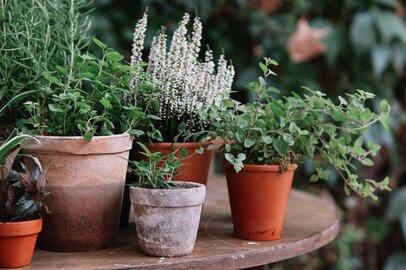 【家庭菜園の害虫対策】虫を寄せつけない!おすすめハーブ5選