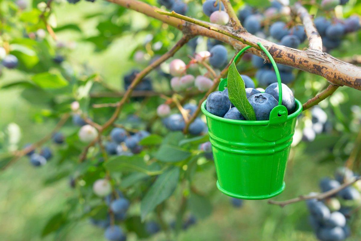 初心者にオススメ「鉢植えブルーベリー」の育て方、実が収穫できて観賞用にも!