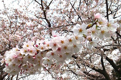 完全民営化された桜前線予想、お花見に重要な満開日は?