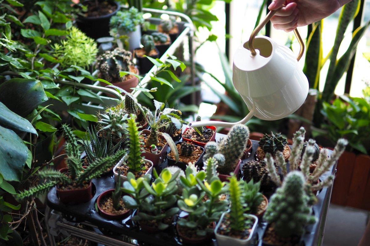 【多肉植物】水やりのタイミングとコツ、枯らさない育て方とは?