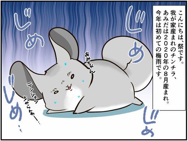 日本生まれのチンチラさん。動物の皆さんが恐怖におののく『日本の夏の風物詩』を初体験【チンチライフ108話】
