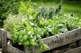 【秋の家庭菜園】おすすめハーブ3選!室内で育てて収穫まで
