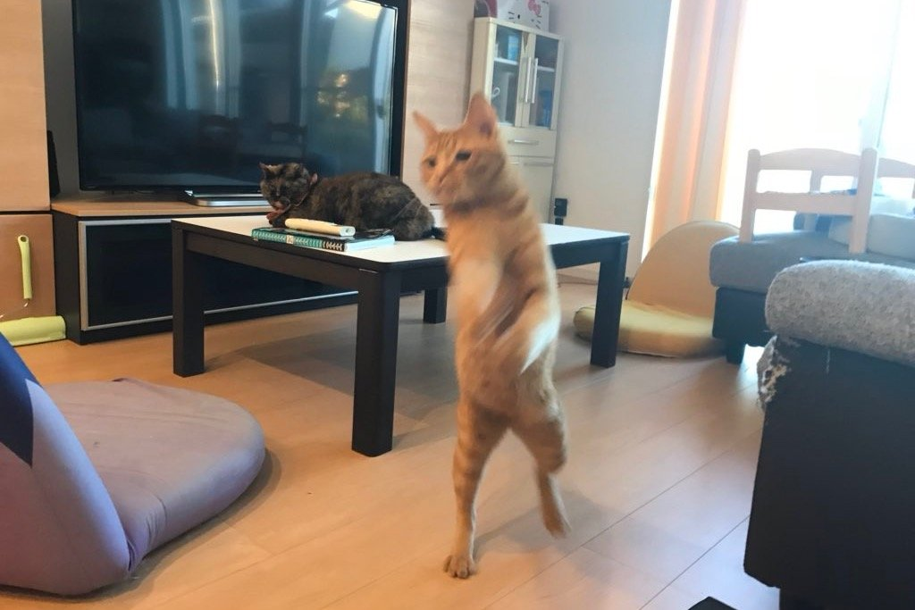 「まるでコンビニに行く人みたい」31万いいね!Twitterでバズった我が家の愛猫写真