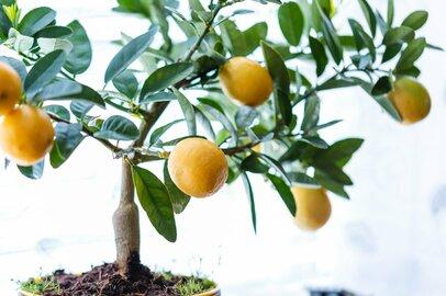 おすすめ観葉植物「レモンの木」ベランダでも室内でも!もぎたて果実が手に入る