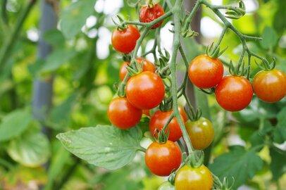 初心者でもカンタン家庭菜園、室内で「ミニトマト」を育てる方法