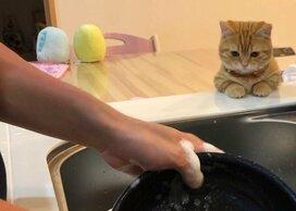「猫の手が借りたくなったら言ってね」洗い物を習得しようとするマンチカン