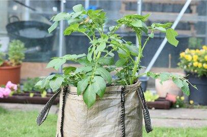 【家庭菜園】ベランダでじゃがいもを育てる!袋栽培でプランターいらず