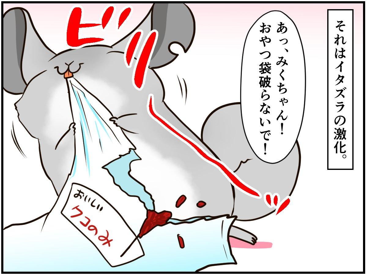 九州弁に背筋が伸びる⁈ イタズラし過ぎたチンチラさん怒られる【チンチライフ71話】