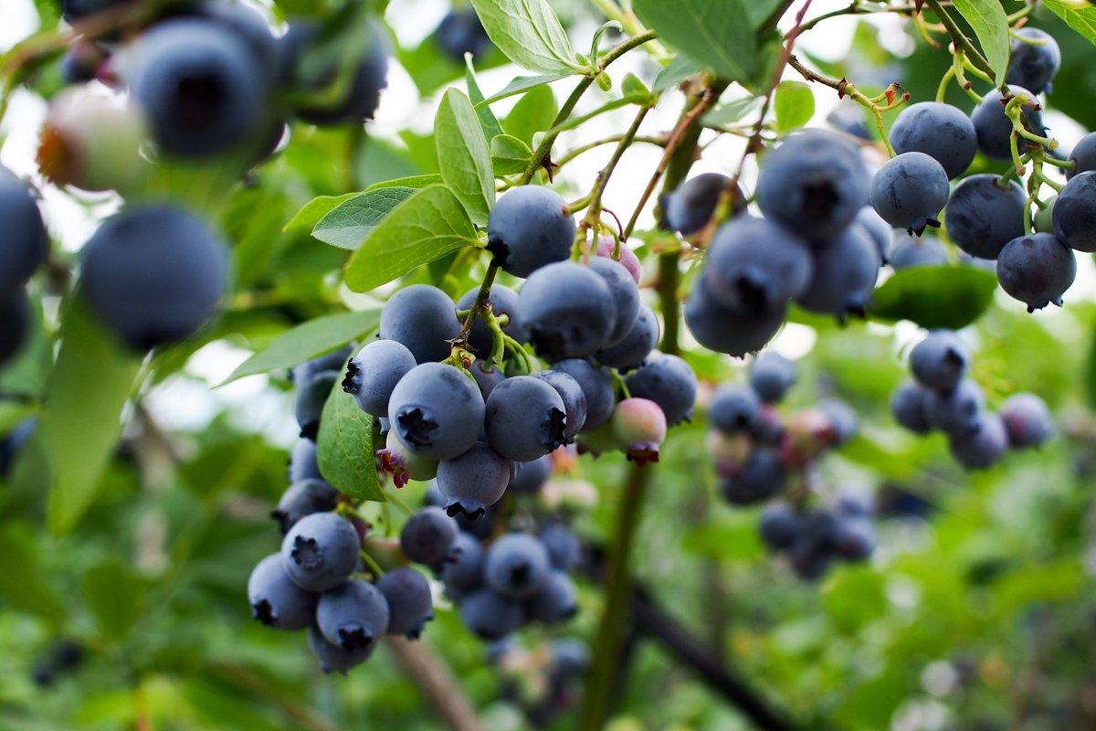 おすすめ果実「ブルーベリー」の育て方、収穫量がアップする3つのポイント